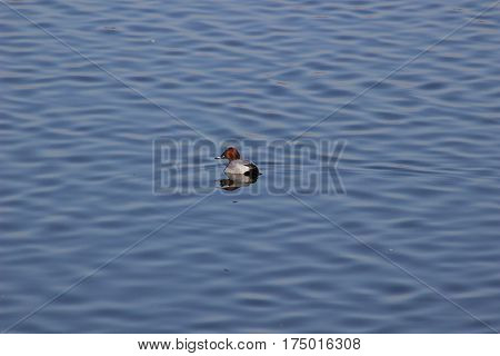 Pochard duck on the lake in winter