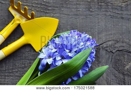 Blue Hyacinth and yellow gardening tools old wooden background with copy space.Hyacinth spring flower.Spring gardening concept.Selective focus.