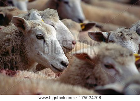 Flock of sheep in Savoy france. Focus on head of a sheep