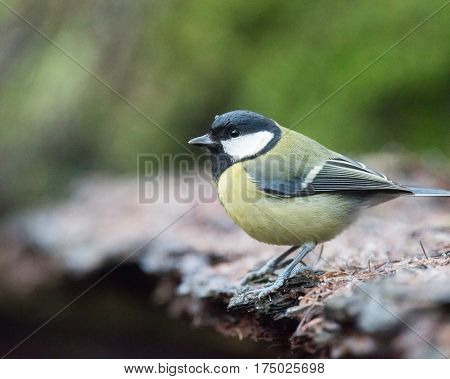 Great Tit Bird Sitting At Edge Of Forest Pond.