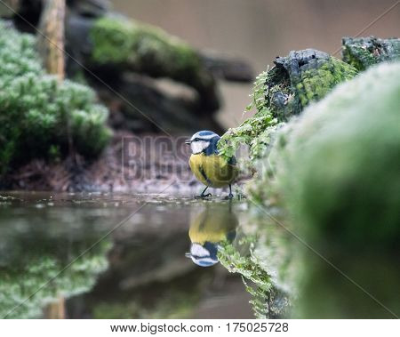 Eurasian Blue Tit Sitting On Moss At Edge Of Pond.