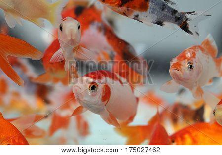 Goldfish In The Aquarium Pet Shop