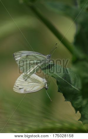 Artogeia napi, Green Veined White, butterfly in love, mating butterflies