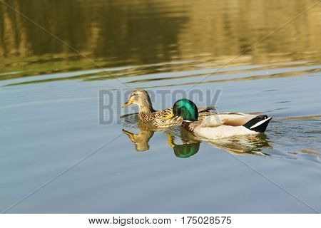 Drake and duck - a male and female Mallard ducks (lat. Anas platyrhynchos) birds of the duck family (Anatidae) detachment of waterfowl (Anseriformes) - in the mating season. The best known and most common wild duck