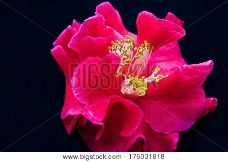Single red camellia flower with black background