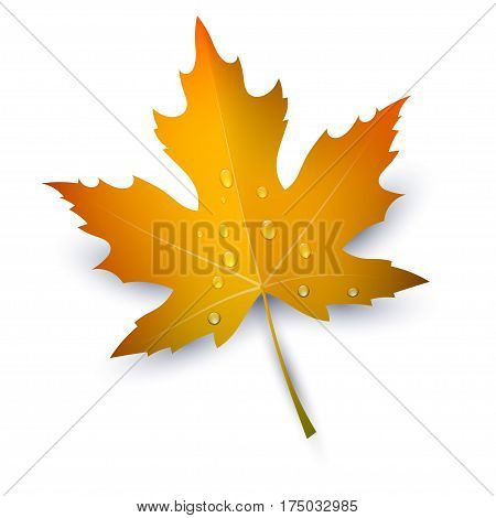 Maple Leaf with raindrops on a white background. Autumn red maple leaf a symbol of autumn. Change element banner seasons. Part of nature flora. Stock vector illustration