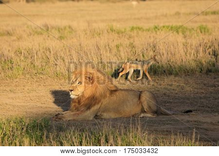 A lion lays while a jackal paces in the background