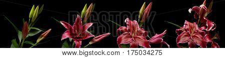 Time lapse series of pink stargazer lily flowers blooming.