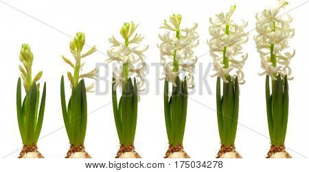 Time lapse series of white hyacinth flowers blooming.