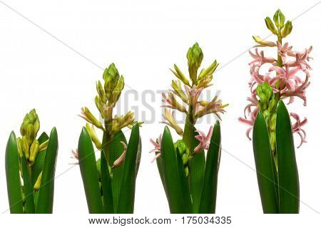 Time lapse series of pink Hyacinth flowers blooming.