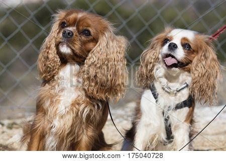 two dog cavalier king spaniel as a friend