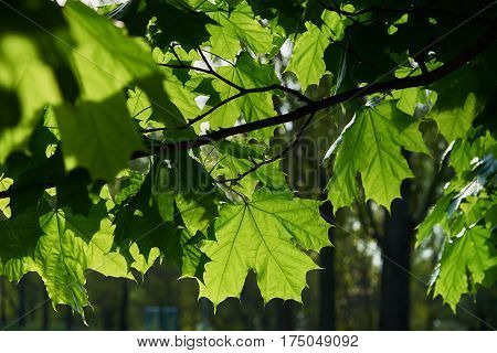 Maple (Acer L.) leaves in the backlight. Background