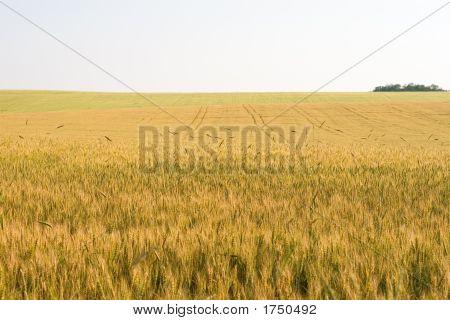 Tricolor Wheat Field