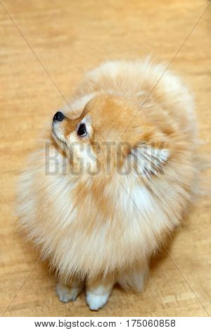 Cute fluffy toy Pomeranian yellow color. The love of home decorative dogs.