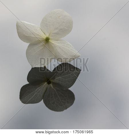 a white flower of hortensia with reflection on a mirror