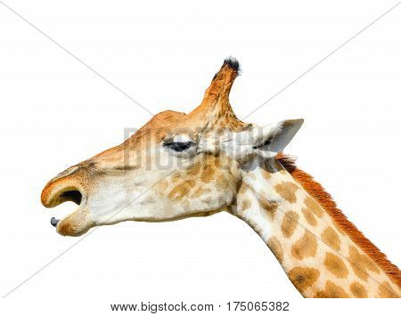 Cute giraffe head isolated on white background. Funny giraffe head isolated. The giraffe is tallest and largest living animal in zoo. Beautiful Giraffa isolated on white. Funny giraffe's face
