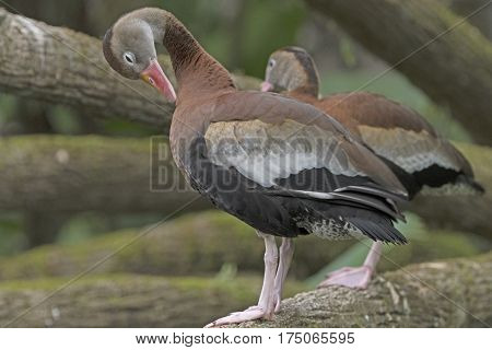 Black-Bellied Whistling Duck in the La Paz Wildlife Sanctuary in Costa Rica