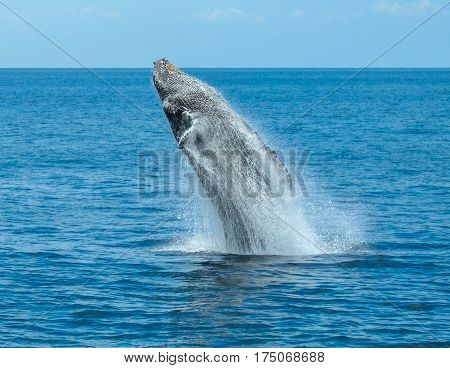 A Humpback Whale Breaching off Waikiki Beach