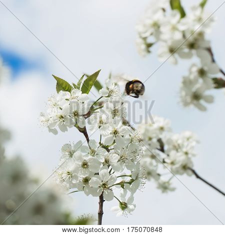 Branches of a white flowering cherry against the blue sky. Bumblebee in flight on flower.