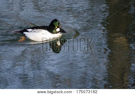 Common Goldeneye Swimming in the Cold Blue Water