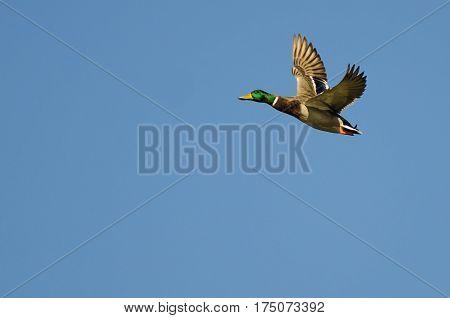 Male Mallard Duck Flying in a Blue Sky