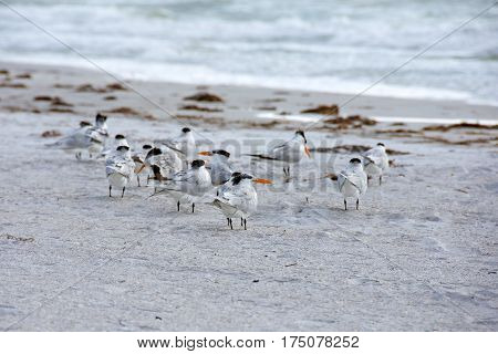 flock of royal terns on Florida beach