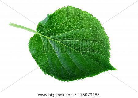 Green leaf isolated on white. Leaf structure and spring nature concept