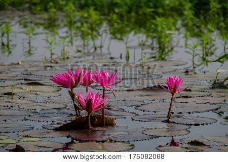 Beautiful waterlily or lotus flower in the morning