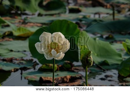 White lotus flower in the pond in the morning