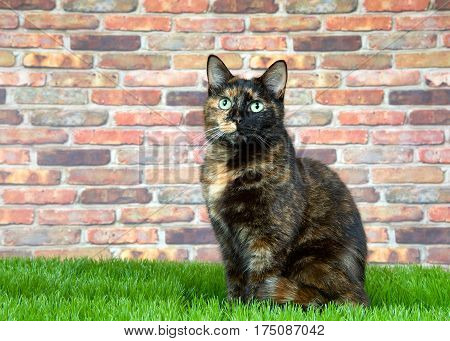 Tortoiseshell Tortie cat laying on grass by brick wall looking at viewer. Tortoiseshell cats with the tabby pattern as one of their colors are sometimes referred to as a torbie.