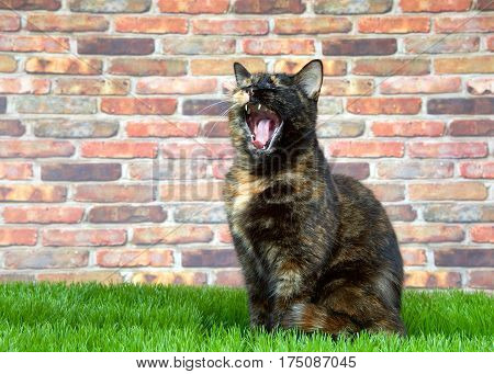 Tortoiseshell Tortie cat laying on grass by brick wall. mouth open widel. Tortoiseshell cats with the tabby pattern as one of their colors are sometimes referred to as a torbie.