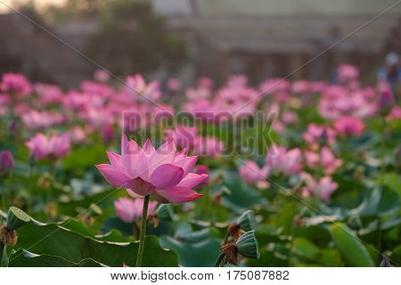 Pink lotus flower with green leaf background