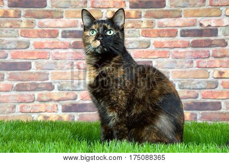 Tortoiseshell Tortie cat laying on grass by brick wall looking above viewer to left. Tortoiseshell cats with the tabby pattern as one of their colors are sometimes referred to as a torbie.