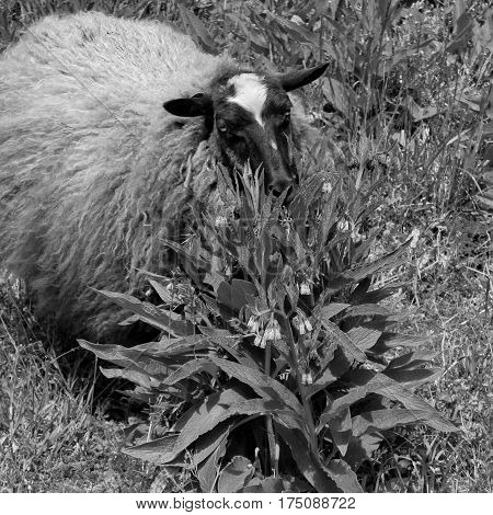A sheep with a full coat ready for spring shearing munching on a wild plant in a pasture.
