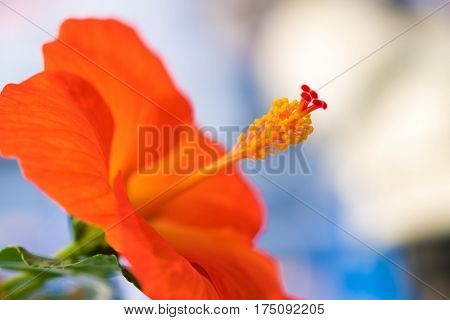 gig red flower