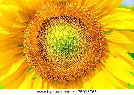 Close up of the sunflower. The common sunflower ( helianthus annuus) is an annual species of sunflower grown as a crop for its edible oil and edible fruits. Sunflower is also used as bird food as livestock forage and in some industrial applications