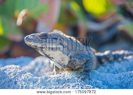 Island iguanas in wildlife. Cancun, Mexico beach