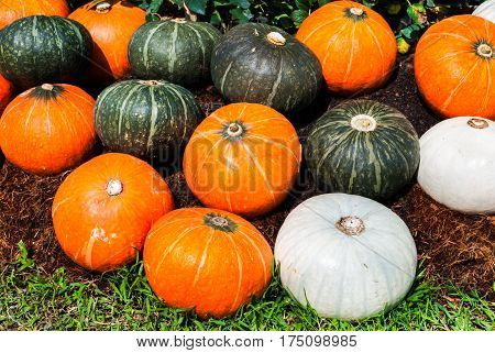 Closeup to Pile of Green White and Orange Pumpkin Cucurbita moschata Decne Background