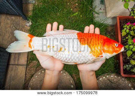 Closeup To Died Koi Fish On Bare Hands In Garden