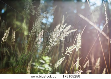 Natural blurred bokeh background - golden spikelets of grass closeup in the rays of the sun at sunrise in the forest. Selective focus.