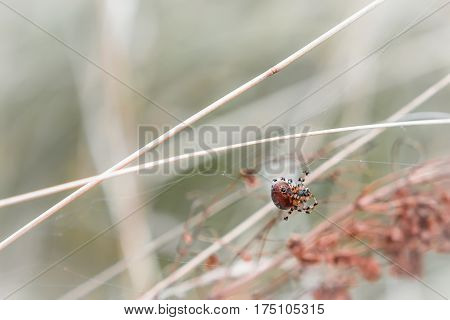 Natural blurred pastel background - brown spider with a black spot weaves a web among the autumn grass. Selective focus.