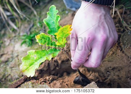 Planting oak seedling into the ground closeup. Unrecognizable human hand.