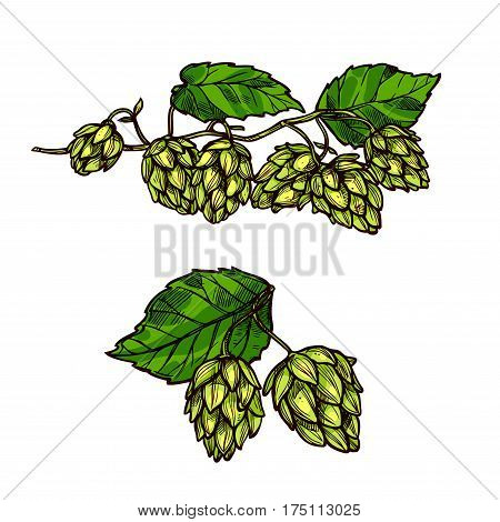 Hops flower branch vector icons of humulus hop plant cones or seeds and leaves. Ingredient for beer brewing and symbol of brewery company, bar or pub