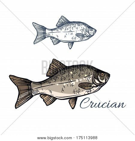 Crucian sketch vector fish icon. Isolated lake or river crucian carp fish species of carassius or goldfish. Isolated symbol for seafood restaurant sign or emblem, fishing club or fishery market