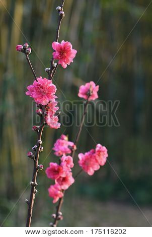 The beginning of the plum blossoms bloom