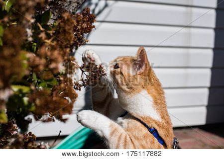 Cat standing on his hind legs and sniffing flowers