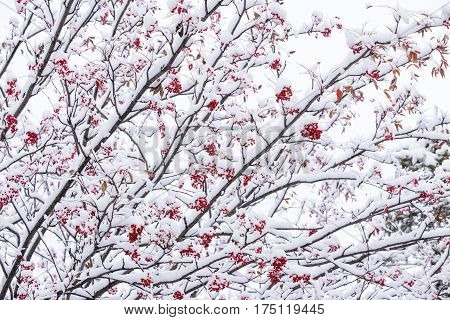 Snowy japanese rowan tree fruit and leaves in Biei, Hokkaido
