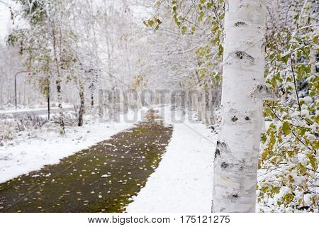 White birch tree trunk in front of footway