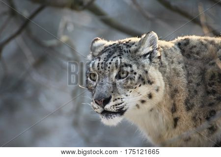 Face ounce. Snow leopard in forest. Panthera Endangered animal write in IUCN Red List of Threatened Species.