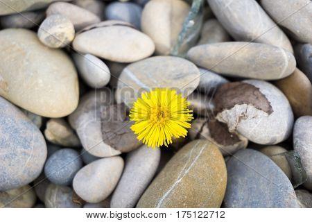 Yellow Dandelion. Dandelion. Close-up of Dandelion. Dandelion flower